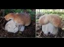Белые грибы в жару 30 грибное безумие конец августа 2017