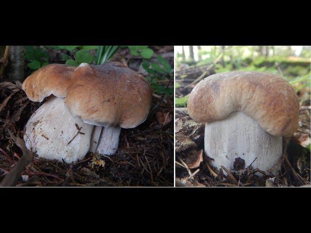 Белые грибы в жару 30 грибное безумие, конец августа 2017