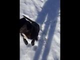 Пёс-компаньон
