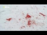 Пума против волка
