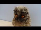 Совёнок ушастой совы. long-eared owlet