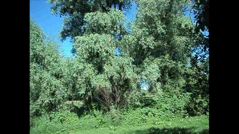 поле с горохом Беленькая