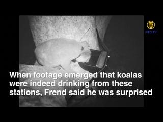 Австралиец нашел способ спасти коал, умирающих от жажды