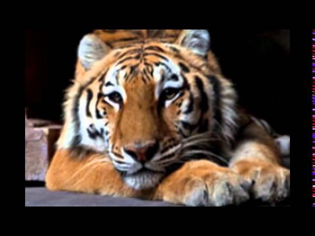 Тигр, леопард, лев на съемку (москва)- 8 916 - 702-11-08