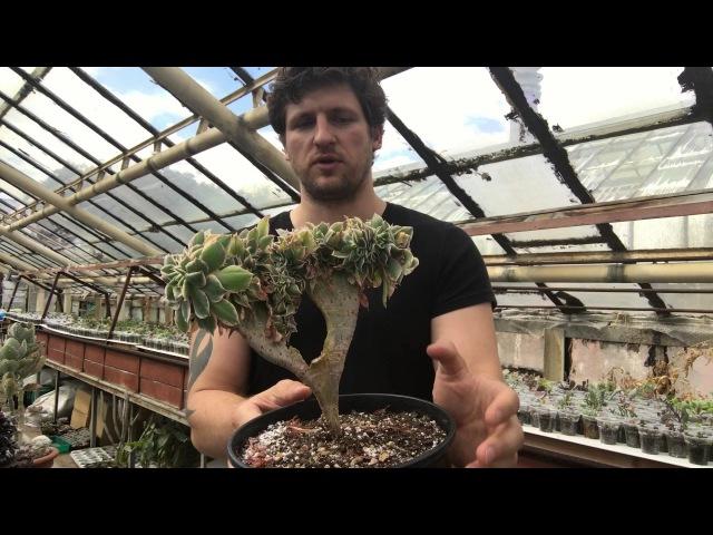 Эониум (Aeonium) - виды, сорта, размножение, уход, секрет успешной культуры - мастер Георгий Аристов