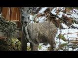 Сохранение популяции кабарги в Горном Алтае