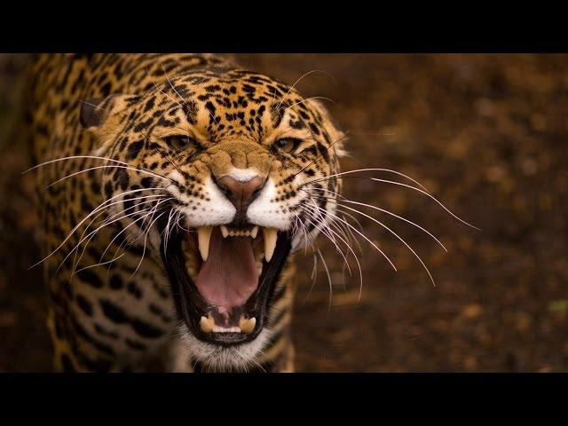 Большие Кошки. Жизнь и Охота Леопардов. NatGeoWild