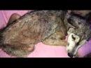 На асфальте лежала измученная собака скрывая под животом своё сокровище…