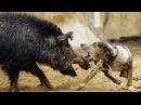 охота на кабана вот так повезло жесть на охоте подборка январь 2017 видео