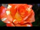 Роза королева цветов Красивая музыка релакс саксофон Podryga on