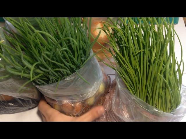 Лук на перо супер способ / Выращивание лука на зелень / Лук за 15 дней