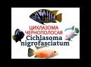 Аквариумные рыбки ЦИХЛАЗОМА ЧЕРНОПОЛОСАЯ