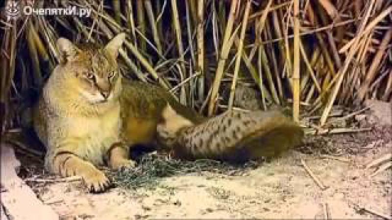 Камышовый кот в дикой природе
