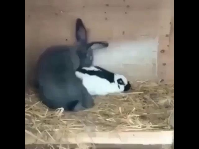 5 секундное спаривание кроликов