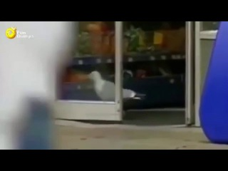 Чайка вор - Seagull thief