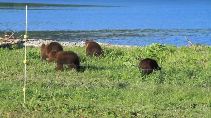Медвежата в Южно-Камчатском заказнике
