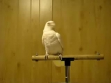 Попугай фанат Рея Чарльза