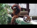 Мимимишные красные панды