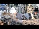 Выставка декоративных голубей и певчих птиц в Лукоморье 2014