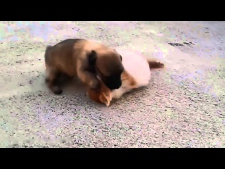 Схватка щенка и котенка - Real puppy and kitten