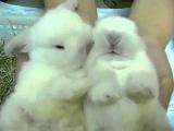Как зевают кролики - As yawning rabbits