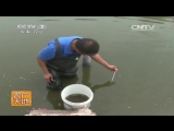 Змееголов из реки Янцзы (Белая рыба-змея) ''Бай цзя ули'' (лат. Channa argus) - методика ''Нэйцзян'' по разведению деликатесной