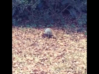 Armadillo collects bedding material by moonwalking with it