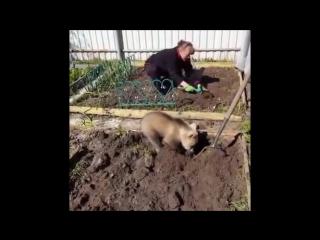 Даже если ты медвежонок, тебе всё равно придётся сажать картошку