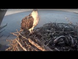 Gracie is pooped on by George @ Long Island Ospreys