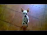 Смешное видео! Маленький песк танцует мексиканский танец любви Приколы про собак