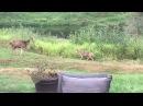 Койот vs Олень (Coyote v Deer)