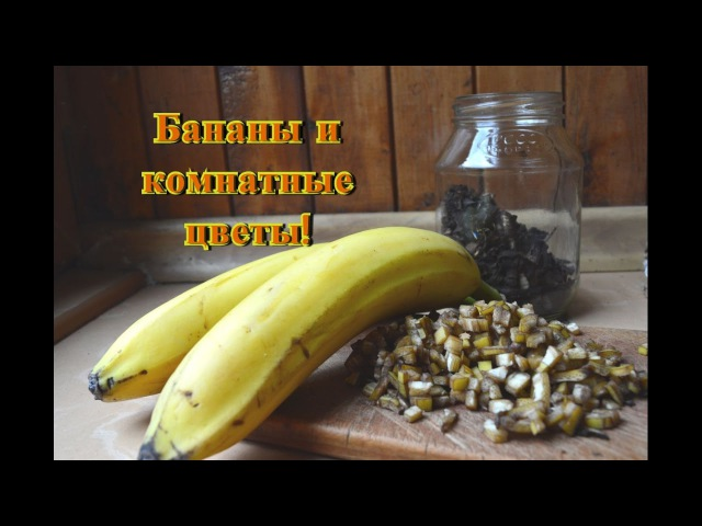 Бананы хороши для комнатных растений Полезные бананы как удобрение!