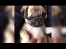 Мопсы 6 Приколы с мопсами Смешные мопсы Pugs Fun with pugs Funny Pugs