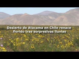 El desierto de Atacama en Chile renace florido tras sorpresivas lluvias