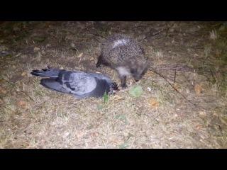 Ёж ест голубя ! Кровожадная картина 18+  (A hedgehog eats a pigeon ! Blood-thirsty picture 18+)