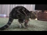 Толстый кот пытается поместиться внутри аквариума - это так мило и уморительно