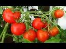 Как правильно формировать кусты томатов Пасынкование и обрезка листьев Дачные ...