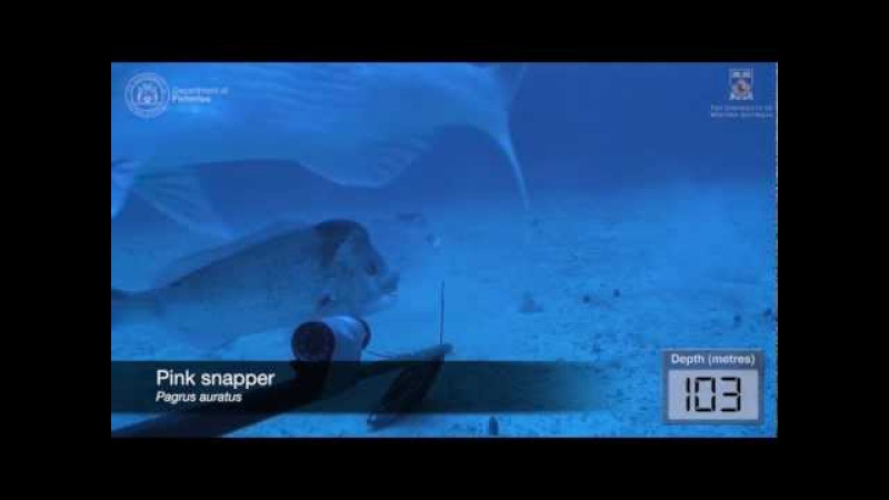 Underwater video of fish assemblages using baited cameras in the Perth Canyon, Western Australia