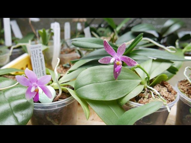 Орхидея Распускаются подростки от Швертера