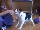 Jack Russell Terrier JRT Aggression When Blowing in Face _ drsophiayin