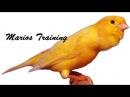 Canary singing video - the best canary training song 40 minutes أغنية تدريب الكناري تغريد رائع