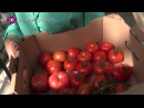 Первый урожай томатов в ДНР