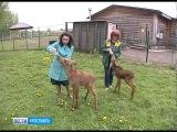В Ярославском зоопарке появились два диких лосёнка