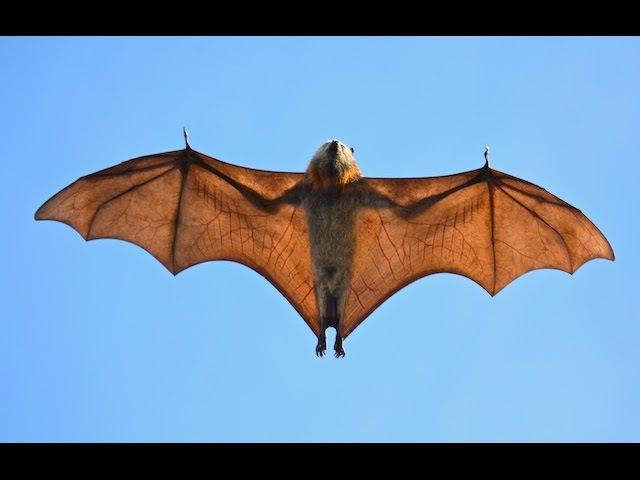 Крыланы, летучие собаки, или летучие лисицы ( Pteropodidae)