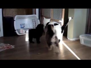 Щенята в полном восторге от кота