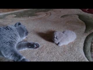 Прекрасная Шотландская вислоухая кошка и миленький котёнок!