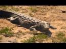 Посмотрите это видео на Rutube WildLife Африка Жирафы гиппо зебры и антилопы под надзором крокодила Интернационал