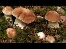 Белые грибы как бизнес идея