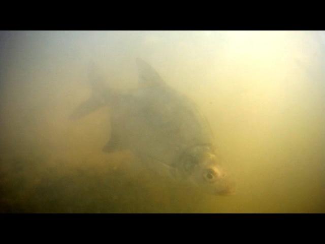 Весенний лещ и уклейка на мелководье, подводные съёмки на Москве реке.