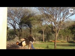 Страус атаковал мужчину, попытавшегося его обнять